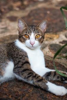 Junge weißbraune katze liegt auf einem weg auf der straße und betrachtet die kamera