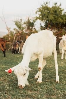 Junge weiße ziege, die gras mit anderen weiden lässt