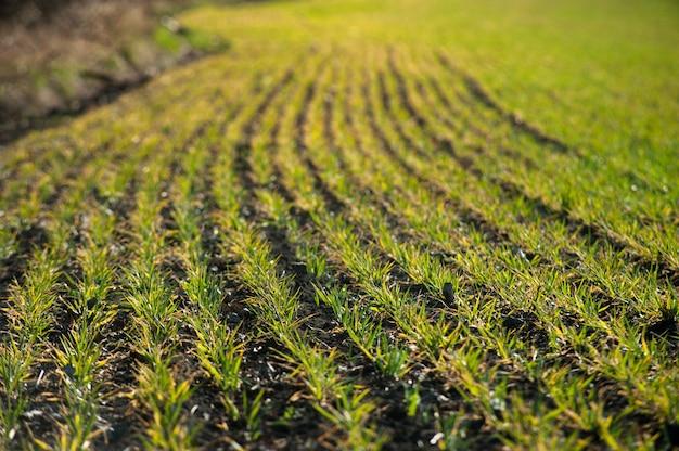 Junge weizensämlinge, die auf einem feld wachsen, das im boden in schwarz wächst. schließen sie oben auf keimendem roggen auf landwirtschaftsfeld am sonnigen tag. roggensprossen. landwirtschaft