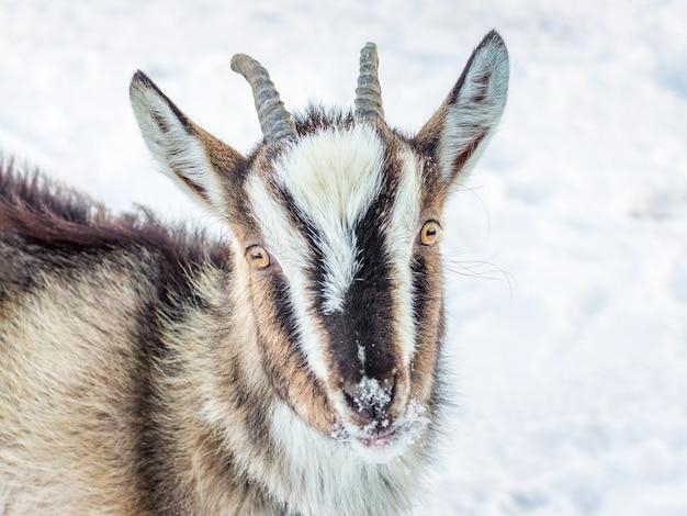 Junge ziege mit hörnern auf schnee