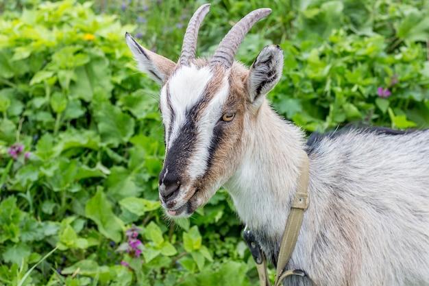 Junge ziege mit hörnernahaufnahme oben auf grünem gras in der weide