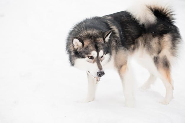 Junger alaskischer malamute, der im schnee steht. hund winter.