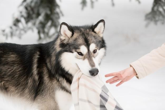 Junger alaskischer malamute, der mit decke im schnee spielt. hund winter.