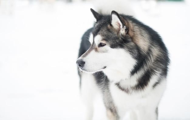 Junger alaskischer malamute, der zurück schaut und im schnee steht. hund winter.