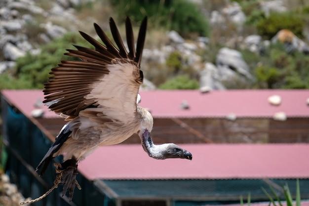 Junger andenkondor (vultur gryphus .)