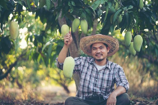 Junger asiatischer landwirt, der mangofrucht im bio-bauernhof, thailand pflückt und zeigt