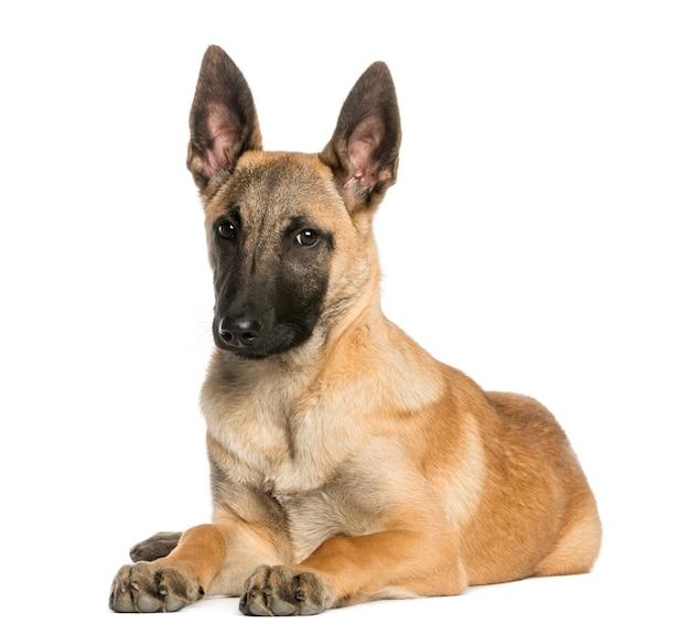 Junger belgischer schäferhund, der sich hinlegt und starrt