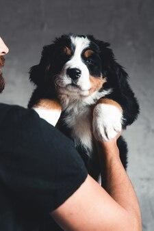 Junger berner sennenhund in den händen. nahaufnahme, studiofoto. konzept der pflege, ausbildung, ausbildung und aufzucht von tieren