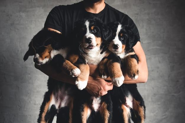 Junger berner sennenhund in den händen. nahaufnahme, studiofoto. konzept der pflege, erziehung, ausbildung und aufzucht von tieren