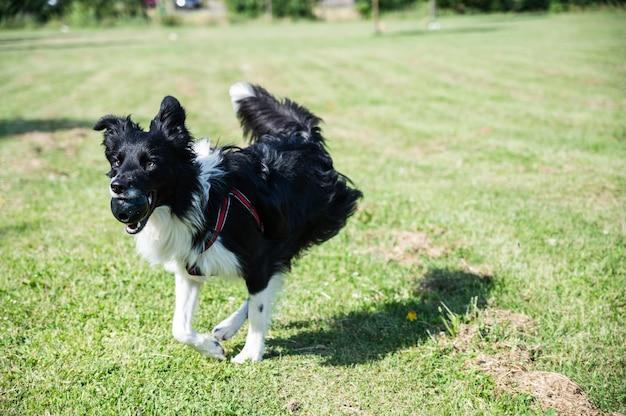 Junger border collie läuft mit einem spielzeug im mund durch den park. hund, der im park mit einem ball spielt