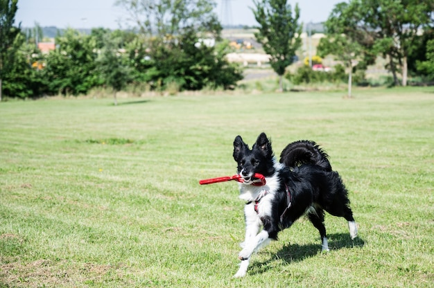 Junger border collie läuft mit einem spielzeug im mund durch den park. hund, der im park mit einem schlepper spielt