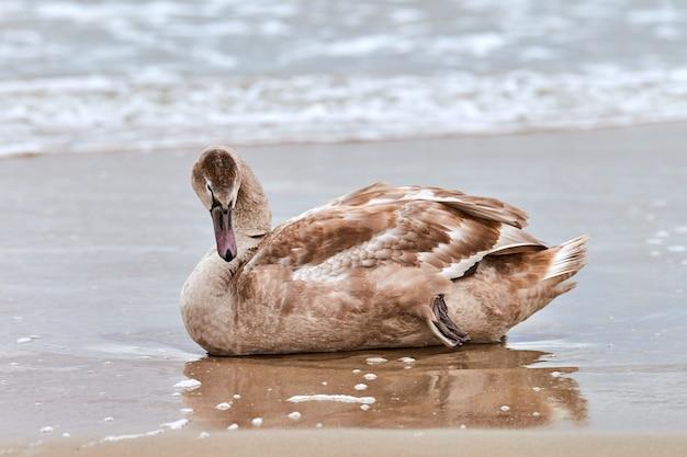 Junger brauner weißer schwan, der auf sand durch blaues wasser der ostsee sitzt. schließen sie hochauflösendes bild des ruhenden schwanenkükens mit braunen federn