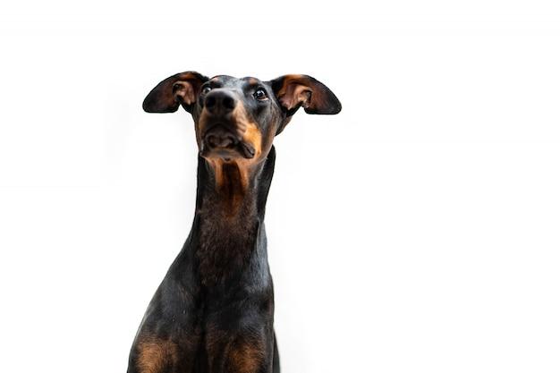 Junger dobermann-hund isoliert betrachtet seinen besitzer
