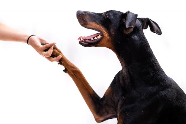 Junger dobermann hund isoliert, der ihrem besitzer die pfote gibt
