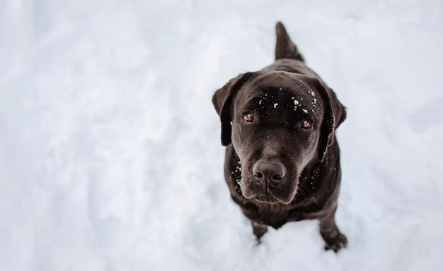 Junger dunkelbrauner labrador-retriever, der auf dem schnee aufwirft. speicherplatz kopieren.