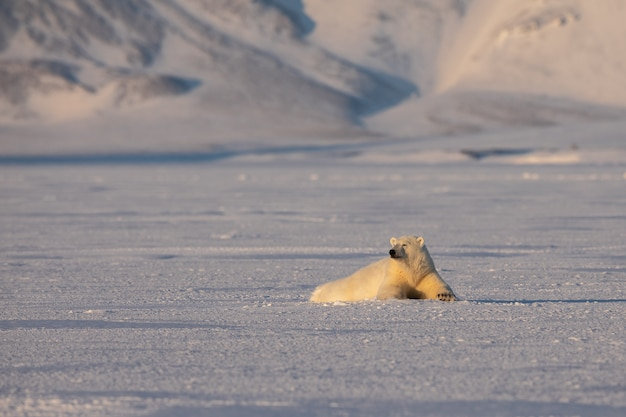 Junger eisbär, ursus maritimus, liegend auf dem eis, berge im hintergrund, arktisches spitzbergen