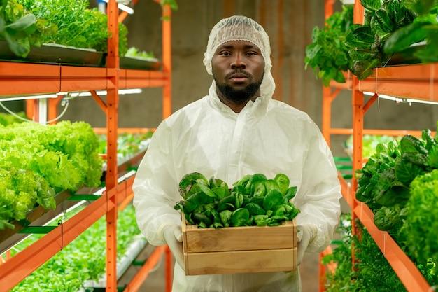 Junger ernsthafter männlicher agroingenieur afrikanischer abstammung, der eine holzkiste mit grünen spinatsämlingen hält, während er im gang zwischen den regalen steht