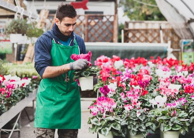 Junger gärtner, der alpenveilchenblumen im gewächshaus pflanzt.