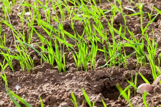 Junger gekeimter weizen auf dem landwirtschaftlichen feld, nahaufnahme des grünen grases