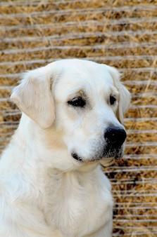Junger goldener apportierhund