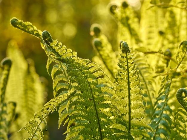 Junger grüner farn im wald