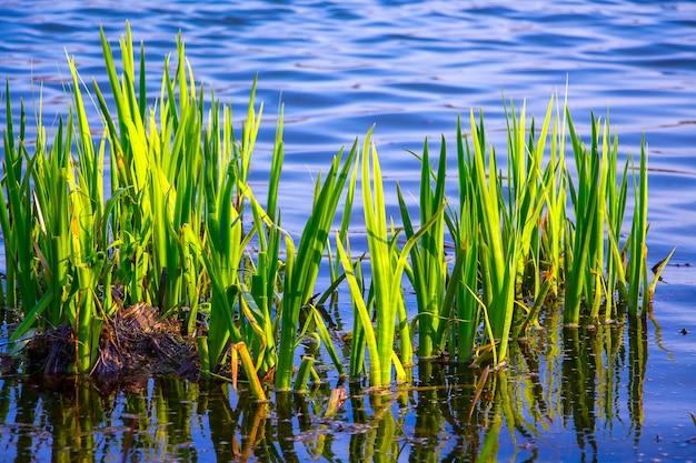 Junger grüner rohrstock im fluss, der den rohrstock im klaren wasser reflektierend