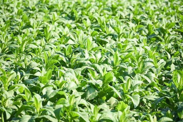Junger grüner tabak verlässt plantage im tabakfeld. tabakblattpflanze, die in der landwirtschaftlichen landwirtschaft in asien wächst