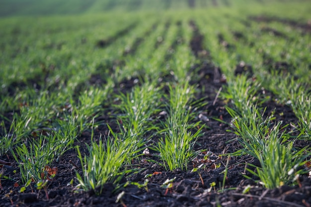 Junger grüner weizen, der im boden wächst. landwirtschaftliche prozesse. feld von den jungen weizensämlingen, die im herbst wachsen. sprießen roggen landwirtschaft auf einem feld an einem nebligen herbsttag. sprossen von roggen.
