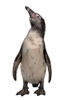 Junger humboldt-pinguin, spheniscus humboldti, stehend