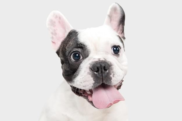 Junger hund der französischen bulldogge posiert süßen verspielten weißen und schwarzen hund auf weiß