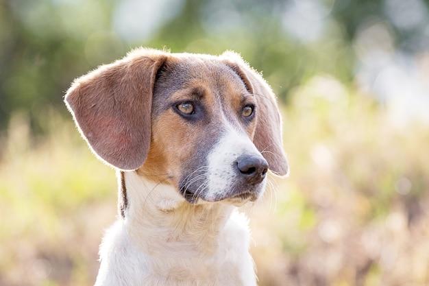 Junger hund der rasse estnischer hund, nahaufnahmeporträt_