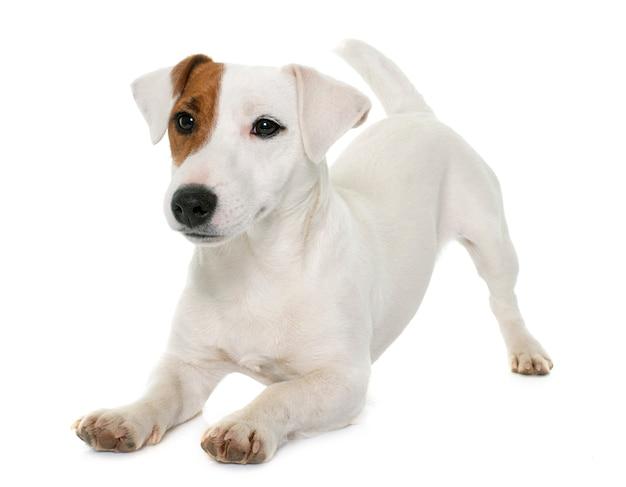 Junger jack russel terrier