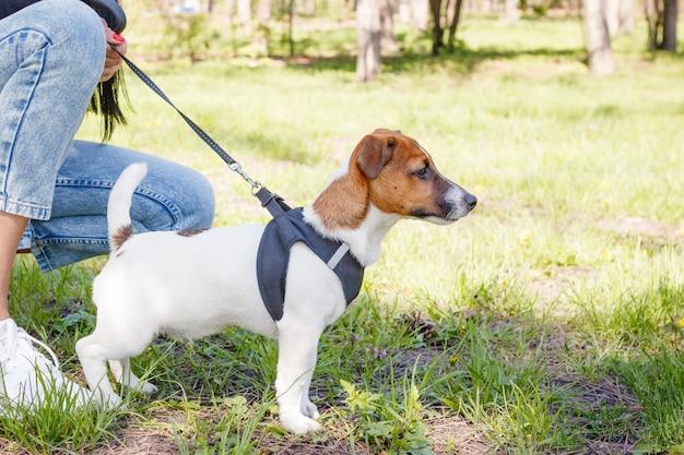 Junger jack russell terrier hund draußen an einem sonnigen sommertag.
