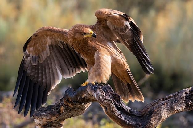 Junger kaiseradler thront auf einem ast