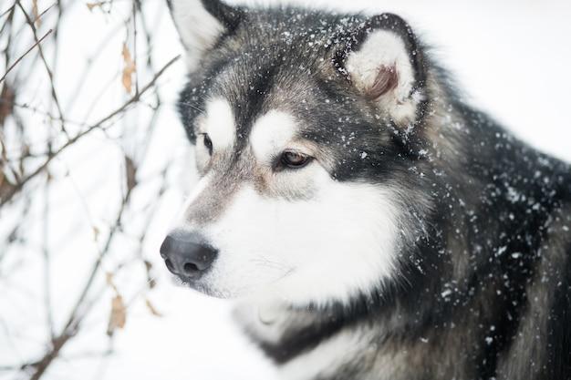 Junger kluger schöner alaskischer malamute, der sich im schnee freut. hund winterporträt.