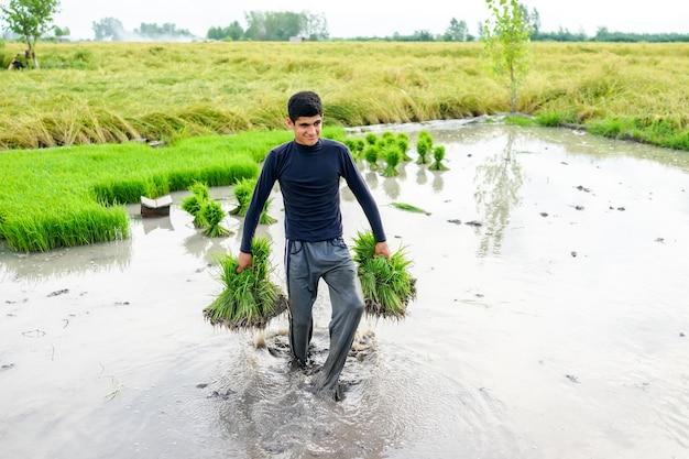 Junger landwirt, der an reisplantage arbeitet