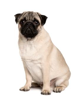 Junger mops, 6 monate alt. hundeporträt isoliert