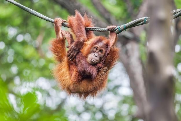 Junger orang-utan, der auf einem seil schwingt