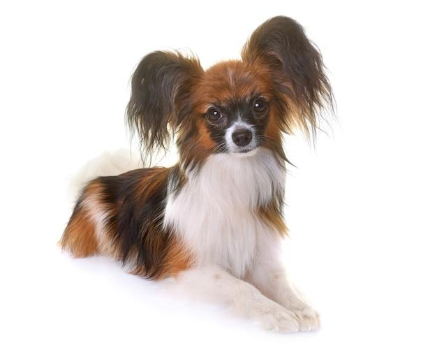 Junger papillon-hund