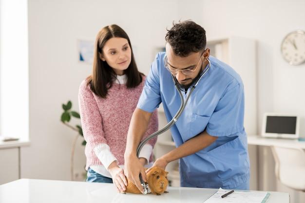 Junger professioneller arzt mit stethoskop, der braunes meerschweinchen auf medizinischem tisch in kliniken untersucht