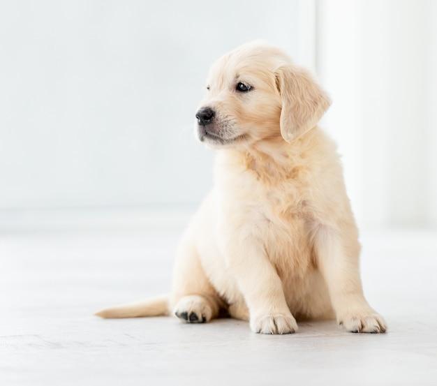 Junger retrieverhund, der zu hause sitzt