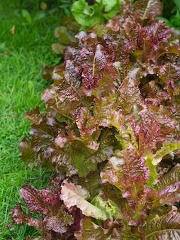 Junger roter kopfsalat auf einem gartenbett
