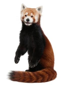 Junger roter panda oder leuchtende katze, ailurus fulgens auf weiß isoliert