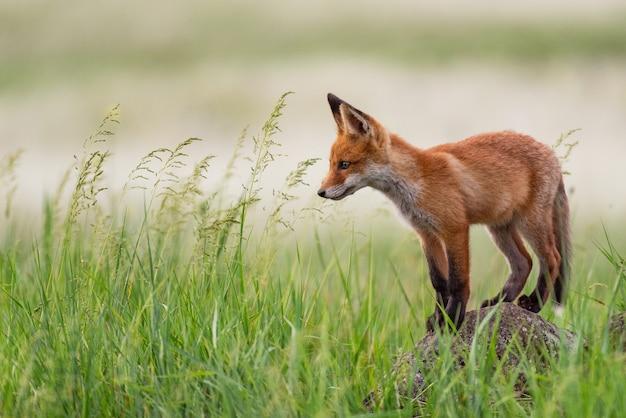 Junger rotfuchs steht auf einem felsen im gras