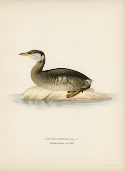Junger rothalstaucher (podiceps grisegena), illustriert von den brüdern von wright.
