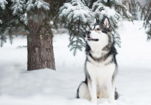 Junger schöner alaskischer malamute-hund, der im schnee sitzt. winterwald.