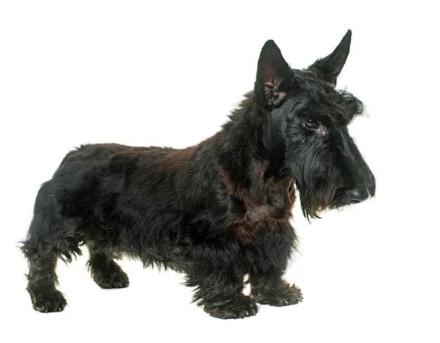Junger schottischer terrier