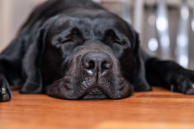 Junger schwarzer labrador, der auf dem holzboden schläft