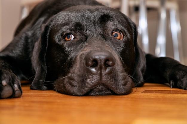 Junger schwarzer labrador retriever, der auf dem holzboden ruht (nach vorne gerichtetes porträt)