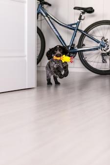 Junger springer spaniel hund spielt mit spielzeug auf einer etage zu hause.
